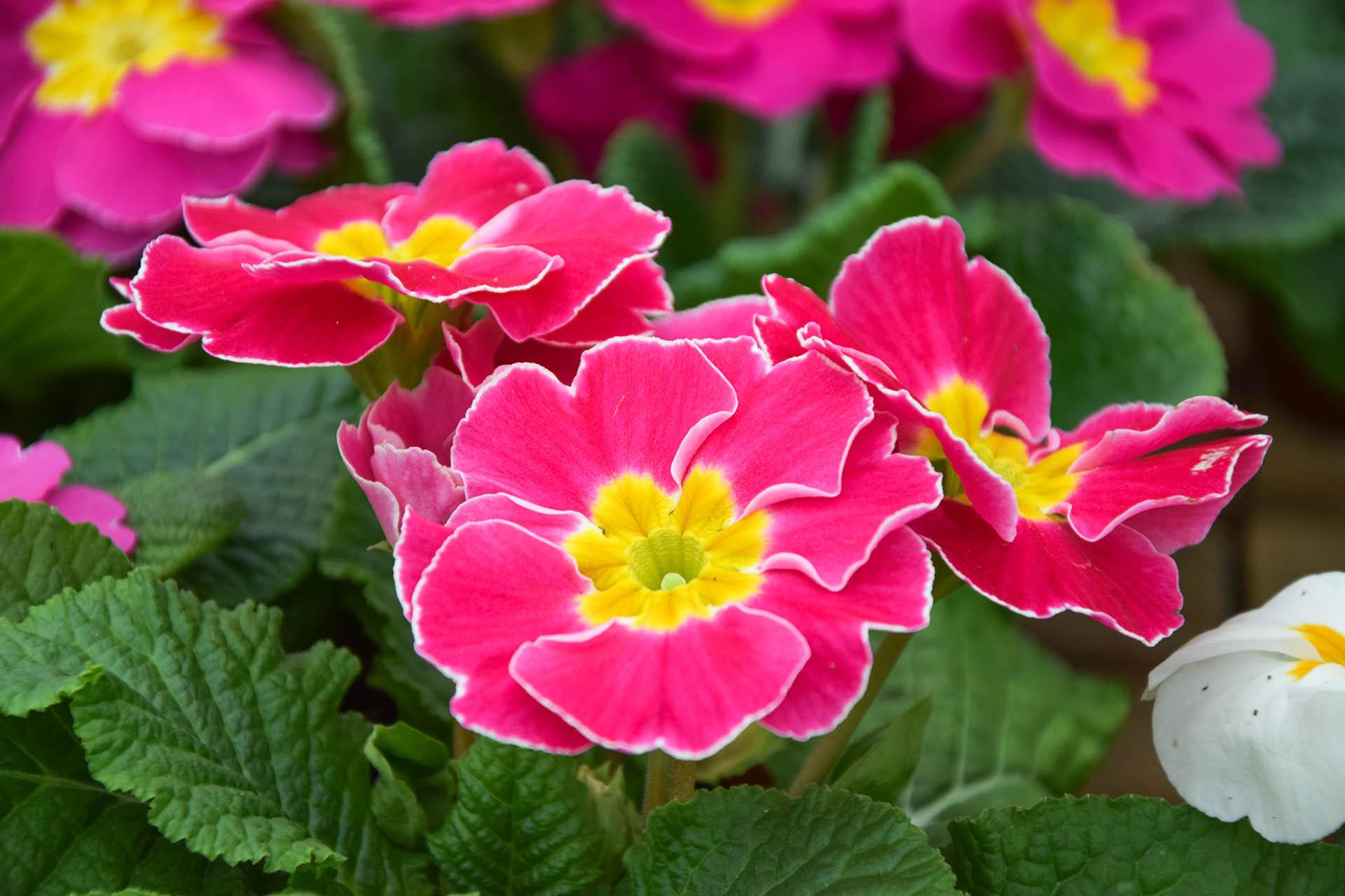 Piante fiorite tercomposti s p a for Piantine fiorite perenni